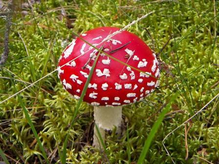 buy red fly agaric
