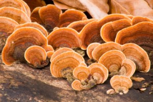 Polypore sanhvan photo
