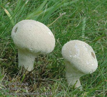 гриб дождевик описание