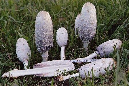 koprinus photo de champignons