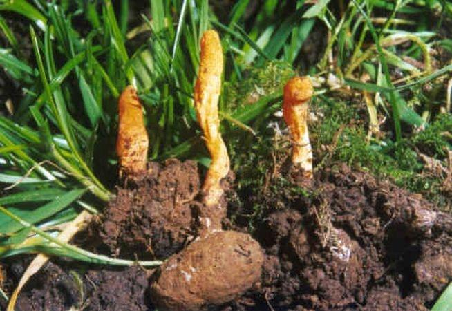 лечебные грибы кордицепс