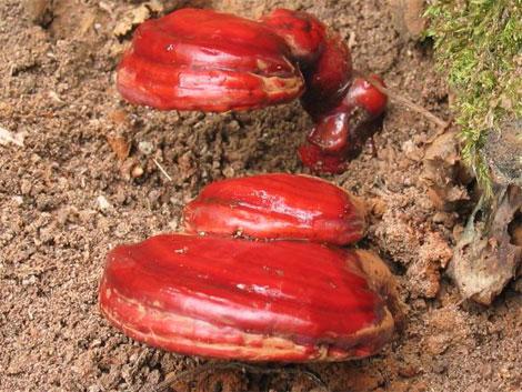 лечебный гриб рейши