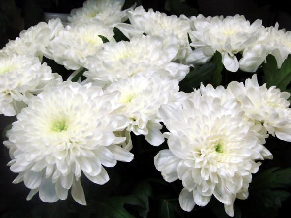 healing properties of chrysanthemum