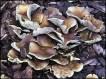 meytake mushroom extract